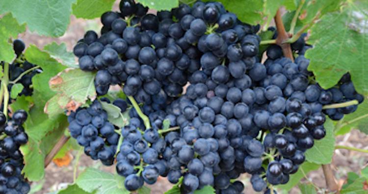 Vite da vino: la concimazione efficiente secondo ICL - le news di Fertilgest sui fertilizzanti