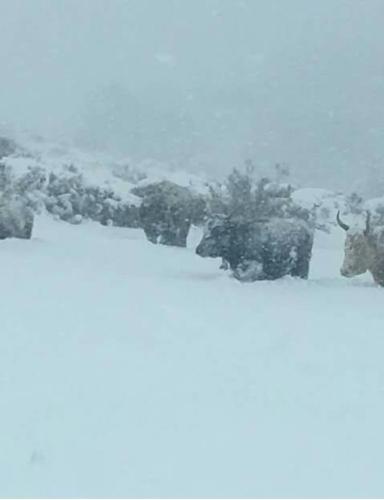 bovini-bloccati-nella-neve18gen2017coldiretti-sardegna