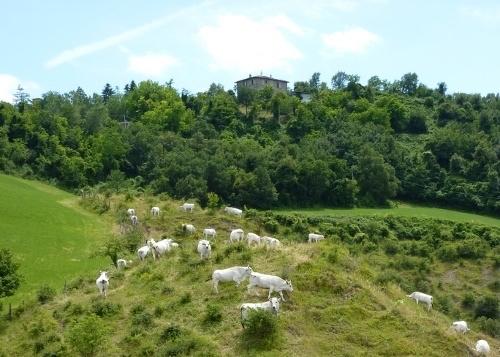 bovini-mucche-pascolo-montagna-fonte-angelo-gamberini-agronotizie.jpg