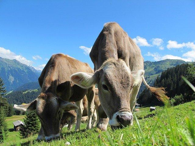 bovini-razza-bruna-pascolo-montagna-christian-b
