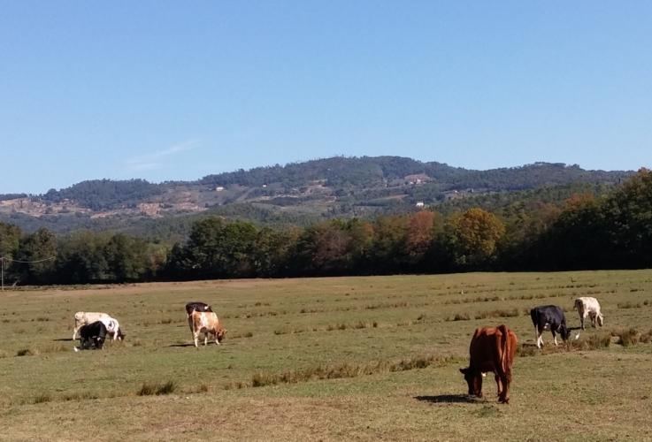 bovini-vacche-pascolo-by-matteo-giusti-agronotizie-jpg