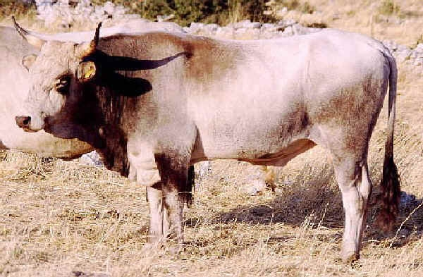 bovino-podolica17giu2015mimmo-pelagalli
