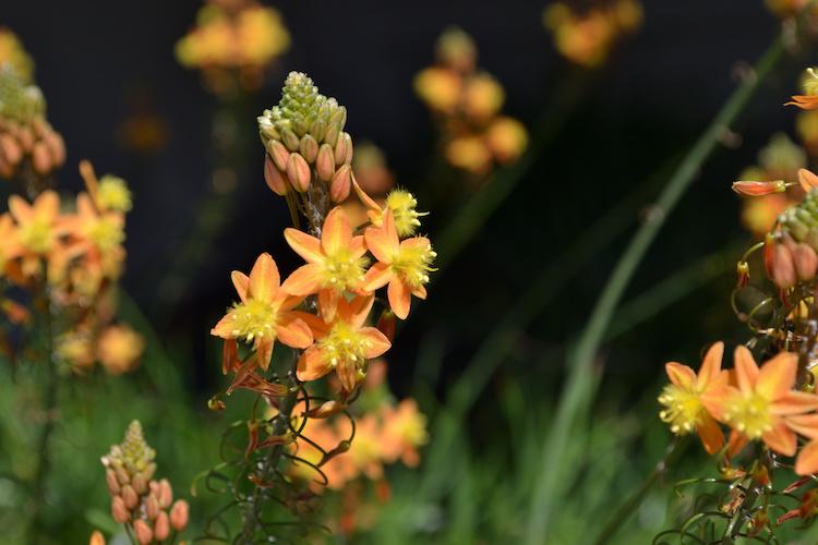 bulbine-frutescens-piante-succulente-suffrutticosa-succulenta-by-sachi-adobe-stock-750x500.jpeg