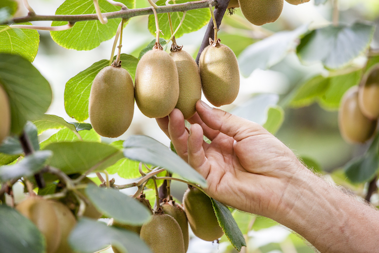 Ottime prospettive per Jintao<sup>&reg;</sup>, l'esclusivo kiwi a polpa gialla Jingold - Plantgest news sulle variet&agrave; di piante
