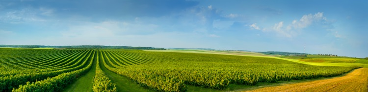 campo-agricoltura-panoramica-cespugli-ribes-by-pavlobaliukh-adobe-stock-750x189.jpeg