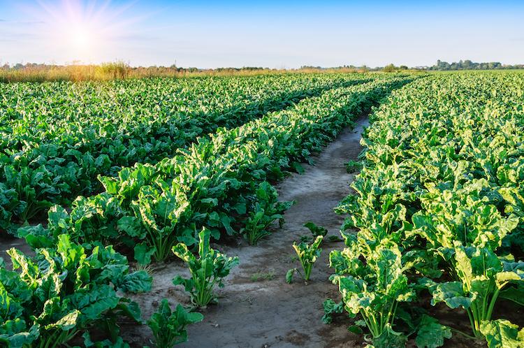 campo-barbabietola-da-zucchero-fonte-upl.jpg