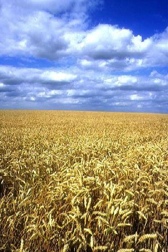 campo-di-grano.jpg