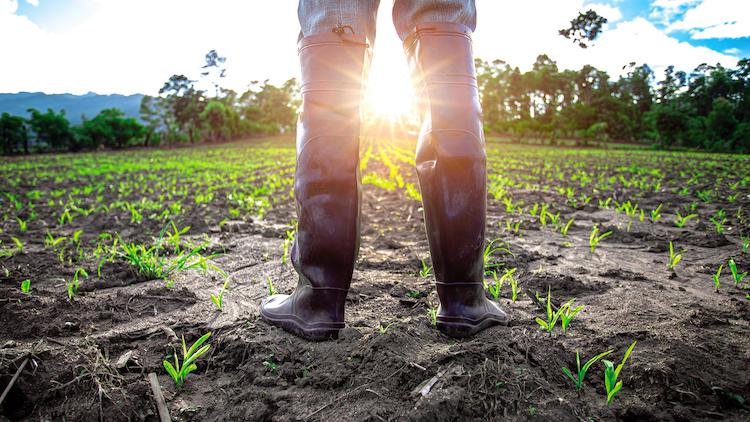 campo-di-mais-agricoltore-stivali-lavoro-agricolo-manodpera-caporalato-by-surachat-adobe-stock-750