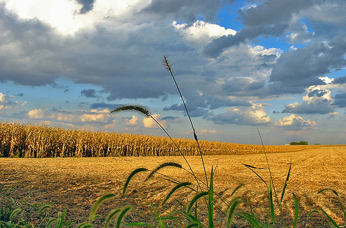 campo-grano-tlindenbaum's.jpg