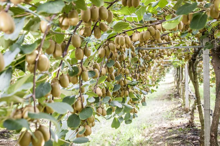La concimazione del kiwi - Plantgest news sulle varietà di piante
