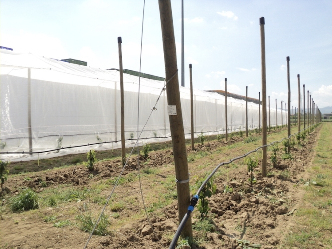 campo-sperimentale-ciliegie-apofruit-fonte-apofruit