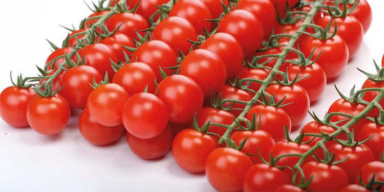 Enza Zaden Italia, oltre 1.200 operatori per le nuove varietà di pomodoro - Plantgest news sulle varietà di piante
