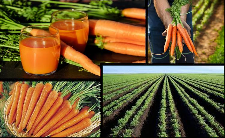 carota-campo-nutrizione-fonte-unimer