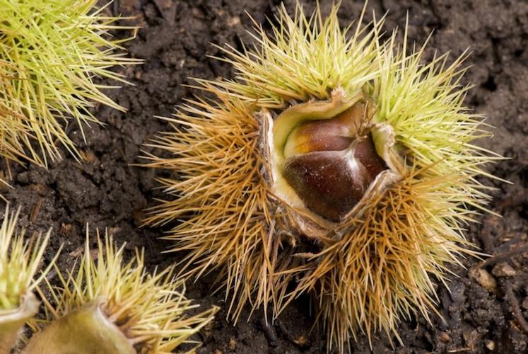 Castagne, Toscana: produzione in calo, ottima la qualità - Plantgest news sulle varietà di piante