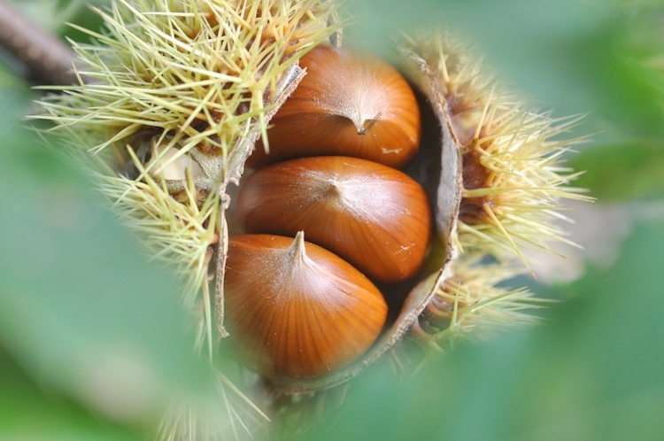 castagne-castagno-by-photolife95-fotolia-750