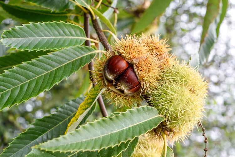 Castagno, pianta antica che si rinnova - Plantgest news sulle varietà di piante
