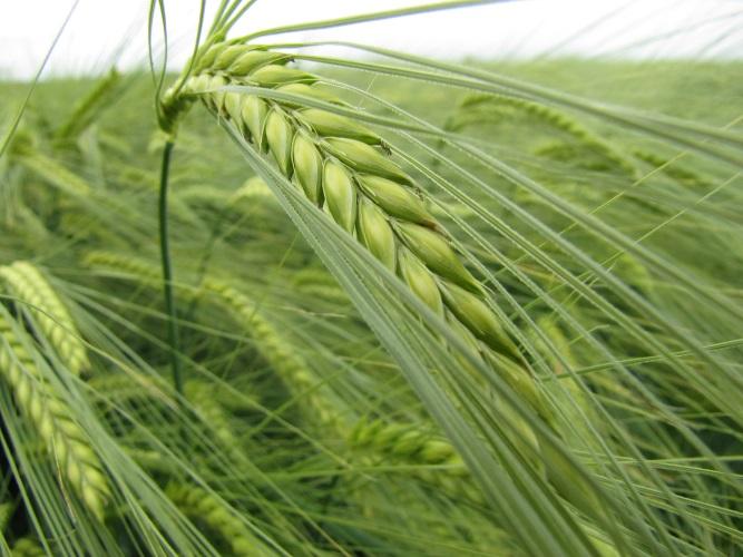 Il fosforo in presemina? È importante, ma è con l'azoto Entec® che si vede la differenza - le news di Fertilgest sui fertilizzanti