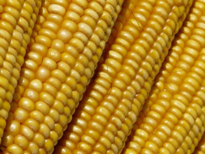 cereali-mais-fonte-bmti-borsa-merci-telematica-italiana.jpg