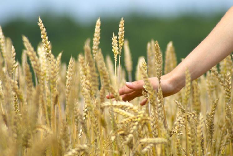 Concimazione in copertura dei cereali: meglio l'urea o il nitrato ammonico? - le news di Fertilgest sui fertilizzanti
