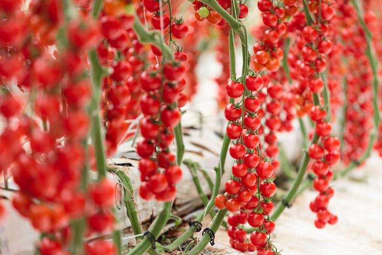 Pomodori, dalla Sicilia arriva il ciliegino Cherye - Plantgest news sulle varietà di piante