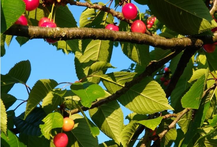 ciliege-frutti-by-jcd2017-wikipedia-jpg