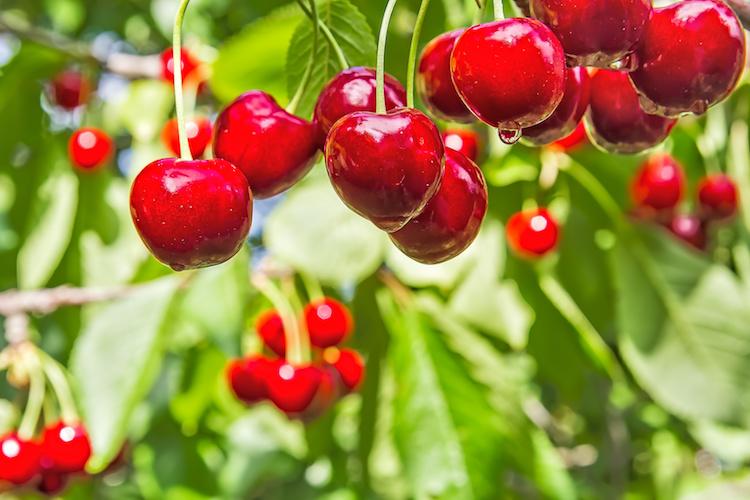 Ciliegio, il futuro è l'innovazione - Plantgest news sulle varietà di piante