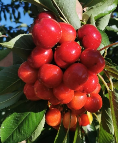 ciliegie-del-2021-15-mag-2021-confagricoltura-puglia