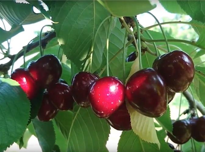 ciliegie-fonte-xeda