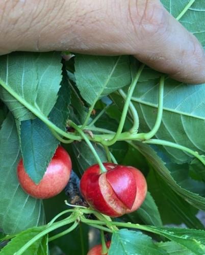 ciliegie-spaccate-da-grandine-07-giu-2020-coldiretti-puglia