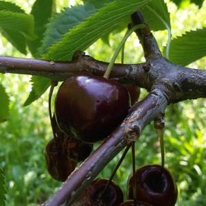 ciliegie-vignola-drosophila-fonte-italia-fruit-news