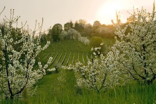 ciliegieti-fonte-opo-veneto.jpg
