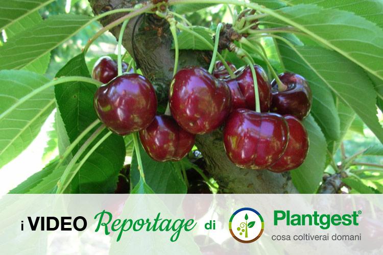 Ciliegio, una pianta che si rinnova - Plantgest news sulle varietà di piante