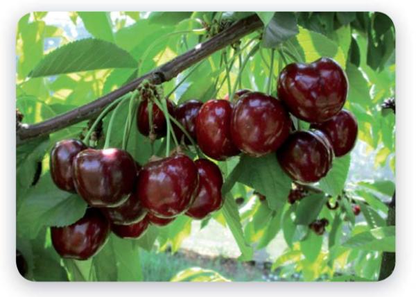 Geoplant Vivai, un'annata da record con Royal Helen - Plantgest news sulle varietà di piante
