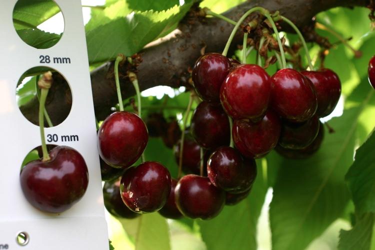 Ciliegio, Salvi vivai sempre più al top - Plantgest news sulle varietà di piante