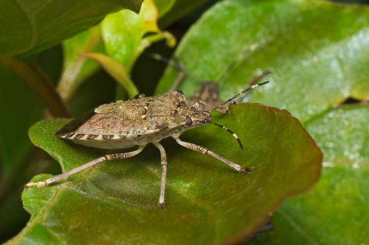 cimice-asiatica-halyomorpha-halys-by-saccobent-adobe-stock-750x497.jpeg