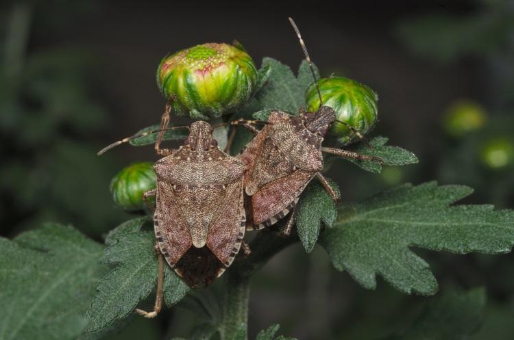 cimice-asiatica-su-foglie-verdi-by-saccobent-adobe-stock-750x497
