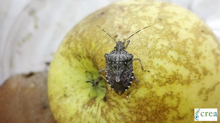 cimice-asiatica-su-frutta-apr-2020-fonte-crea.jpg