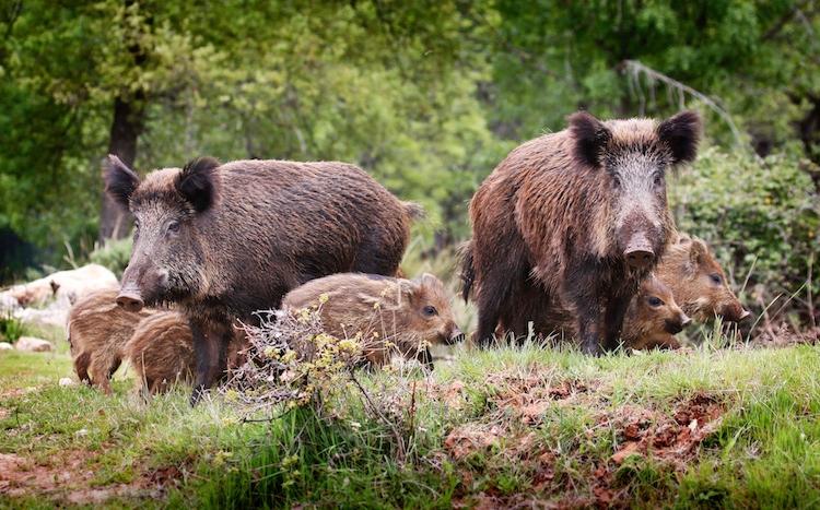 cinghiali-fauna-selvatica-animali-by-zolastro-fotolia-750