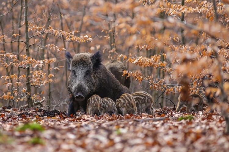 cinghiali-fauna-selvatica-by-alexander-von-duren-fotolia-750