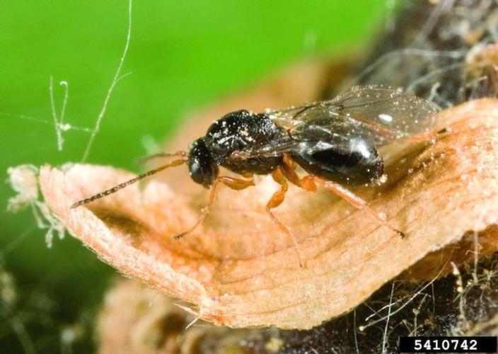 cinipide-castagno-dryocosmus-kuriphilus-fonte-gyorgy-csoka-hungary-forest-research-institute-bugwood-org-wikipedia