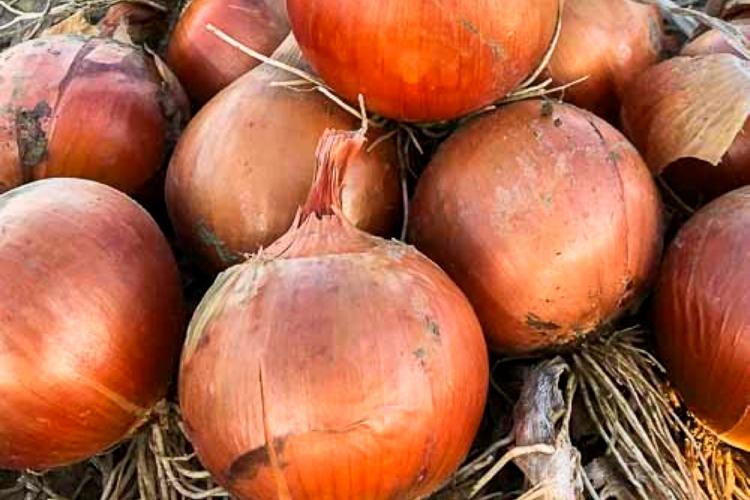 Cipolla, made in Italy da valorizzare - Plantgest news sulle varietà di piante