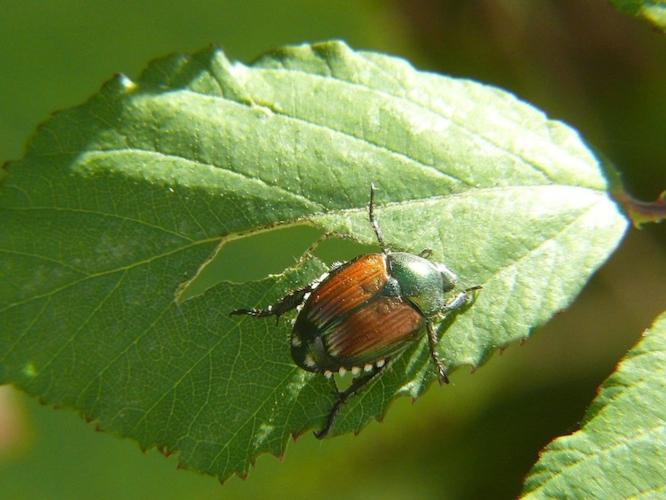 coleottero-giapponese-popillia-japonica-su-foglia-di-rubus-fonte-lamba-wikipedia-gnu-free-documentation-license
