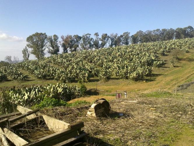 coltivazione-di-fico-di-india-da-frutto-a-san-cono-ct-secondo-art-gen-2021-rosato-fonte-mario-rosato.jpg