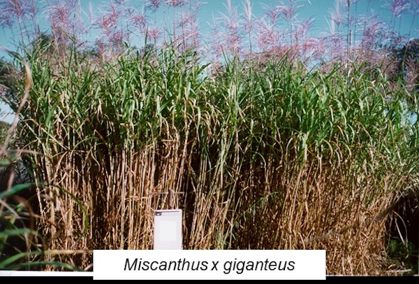 coltivazione-sperimentale-di-miscanto-secondo-art-apr-2019-rosato-fonte-progetto-di-ricerca-optimisc