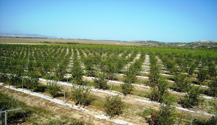 coltivazioni-di-melograno-impianti-siciliani-oranfrizer