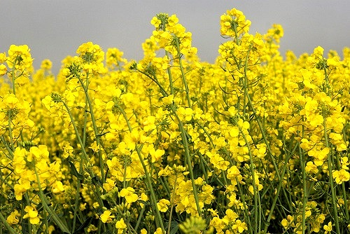 colza-rapeseed-byflickrcc20-Susannah-Grant-ambhaims-500-ok.jpg