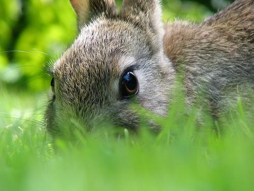 coniglio-rabbit.JPG