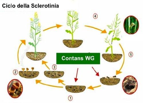 contans-wg-intrachem-ciclo-sclerotinia-500