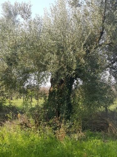corniola-in-azienda-giusti22feb2019mimmo-pelagalli-per-agronotizie