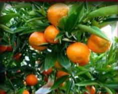 covil-clementine-hernandina-vcr-varieta-tardiva